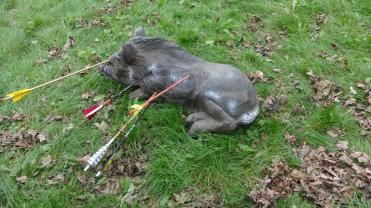 liegendes Wildschwein mit Pfeilen gespickt...